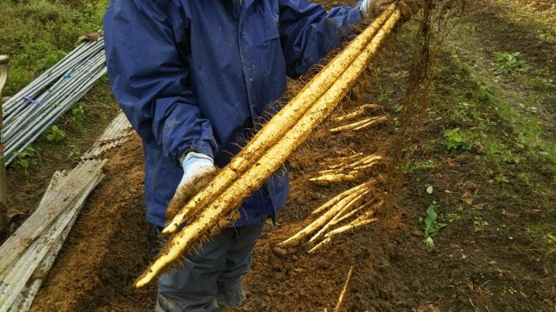 自然薯を掘り起こしているシーン